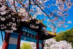 Cherry Blossom valley,wuxi,china. Wuxi Taihu Yuantouzhu Park Cherry Blossom valley stock photography