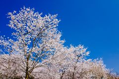 Cherry Blossom valley,wuxi,china. Wuxi Taihu Yuantouzhu Park Cherry Blossom valley stock images