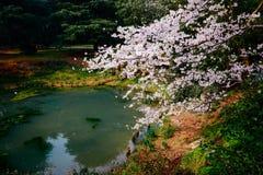 Cherry Blossom valley,wuxi,china. Cherry valley,Wuxi Taihu Yuantouzhu Park Cherry Blossom valley stock photos