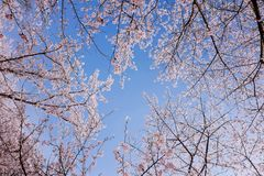 Cherry Blossom valley,wuxi,china. Cherry valley,Wuxi Taihu Yuantouzhu Park Cherry Blossom valley stock photography