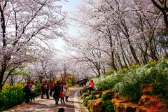 Cherry Blossom valley,wuxi,china Stock Photography