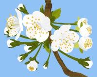 Cherry Blossom Vector Illustration. White cherry blossom vector illustration Royalty Free Stock Photography