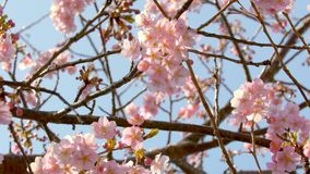 Sakura cherry blossoms in full bloom and blue sky stock video footage
