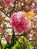 Cherry blossom view spring. View close up  in cherry blossom stock image