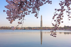 Cherry blossom in view of Washington Monument Royalty Free Stock Photos