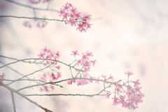 Cherry blossom vintage background Stock Image