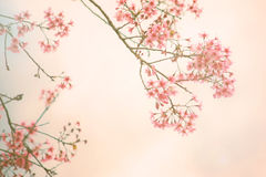 Cherry blossom vintage background stock photography