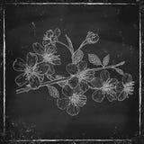 Cherry blossom. Vintage illustration of cherry blosson on chalkboard royalty free illustration