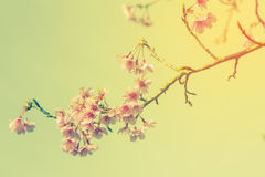 Cherry blossom vintage and soft light Stock Images