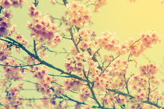 Cherry blossom vintage and soft light Royalty Free Stock Image