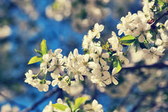 Cherry blossom in vintage style Stock Images