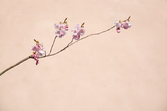Cherry blossom wall Royalty Free Stock Photography
