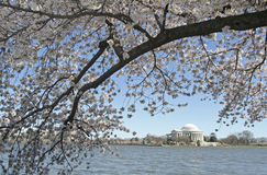 Cherry Blossom in Washington Stock Images