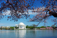 Cherry Blossom, Washington DC Royalty Free Stock Images