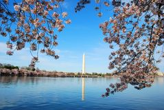 Cherry Blossom in Washington DC Royalty Free Stock Photo