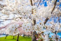 Cherry Blossom Washington DC arkivbilder
