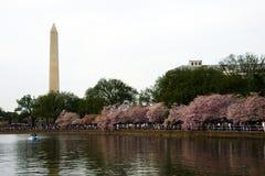 Cherry Blossom in Washington DC Royalty Free Stock Image