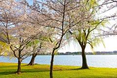 Cherry blossom in Washington DC. Royalty Free Stock Photo