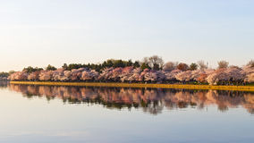 Cherry blossom in Washington DC. Beautiful Japanese cherry trees in full bloom around Tidal Basin in the spring Royalty Free Stock Images