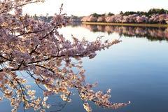 Cherry blossom in Washington DC. Royalty Free Stock Photography