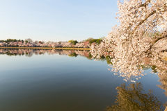 Cherry blossom in Washington DC. Beautiful Japanese cherry trees in full bloom around Tidal Basin in the spring Stock Photo