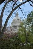 Cherry blossom on Washington DC Capitol background Stock Image