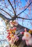 Cherry Blossom Washington, DC Royalty Free Stock Photos