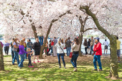 Cherry blossom. Washington DC, USA - Apr.12,2015 : People walking around  Tidal Basin area relaxing taking photo during Cherry blossom festival Royalty Free Stock Photography