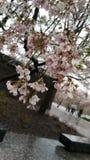 Cherry Blossom in Washington DC, vom Gezeiten- Becken, mit Jefferson Memorial im Hintergrund C stockfoto