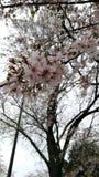 Cherry Blossom in Washington DC, vom Gezeiten- Becken, mit Jefferson Memorial im Hintergrund C stockbild
