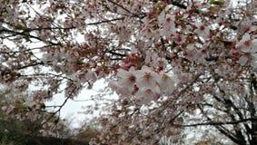 Cherry Blossom in Washington DC, vom Gezeiten- Becken, mit Jefferson Memorial im Hintergrund C stockfotografie