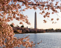 Cherry Blossom and Washington Monument Royalty Free Stock Photography