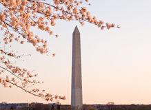 Cherry Blossom and Washington Monument Royalty Free Stock Image