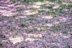 Cherry blossom in washington Stock Image