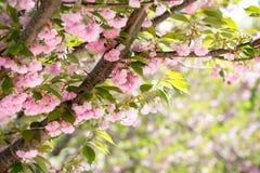 Cherry blossom in washington Royalty Free Stock Photos