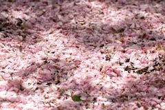Cherry blossom in washington Royalty Free Stock Photo