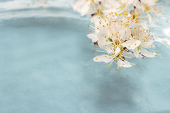 Cherry blossom on water, blue background Stock Images