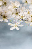 Cherry blossom on water, blue background Stock Photo