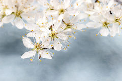 Cherry blossom on water, blue background Royalty Free Stock Photos