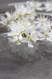 Cherry blossom on water, grey background Royalty Free Stock Photos