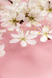 Cherry blossom on water, pink background Stock Photo