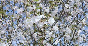 Cherry blossom, white apple tree bloom detail close-up stock footage