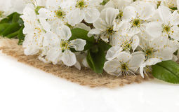 Cherry blossom on white Royalty Free Stock Image