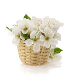 Cherry blossom on white Royalty Free Stock Photography