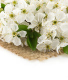 Cherry blossom on white Royalty Free Stock Images