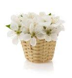 Cherry blossom on white Royalty Free Stock Photos
