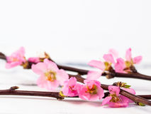 Cherry blossom on white background. Twig with pink cherry blossom on white with copy space Stock Photo