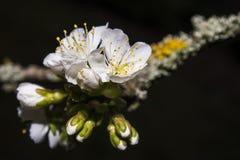 Cherry blossom. White cherry blossom on black background Stock Photography