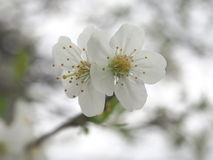 Cherry blossom. White cherry blossom with blurry background Stock Photos
