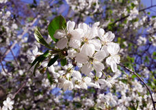 Cherry blossom,white flowers Royalty Free Stock Photos